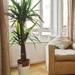драцена - растение для хорошего настроения